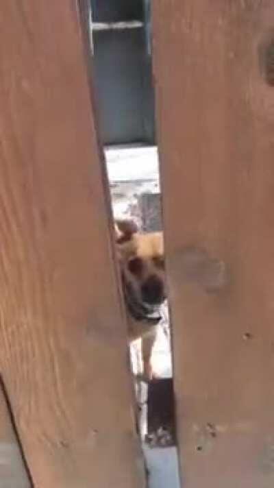 chihuahua says hello