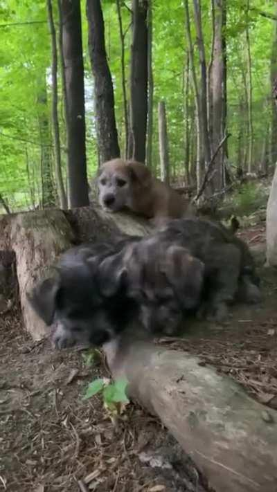 Forest pups