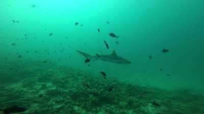 My fist time among sharks (Rasdhoo, Maldives)