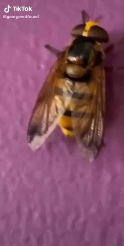 Thick wasp