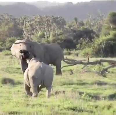 Elephant uses branch to ward off rhino