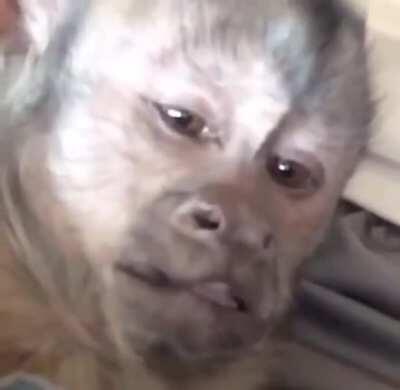 Capuchin tickle