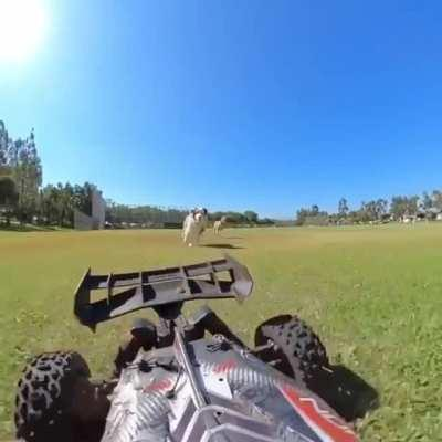 Just a couple of derpy pups chasing an RC car