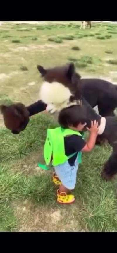 Some of you asked for a longer version of a video of Kid meeting the alpaca, so I've found it! Hope you don't mind the semi-repost :)