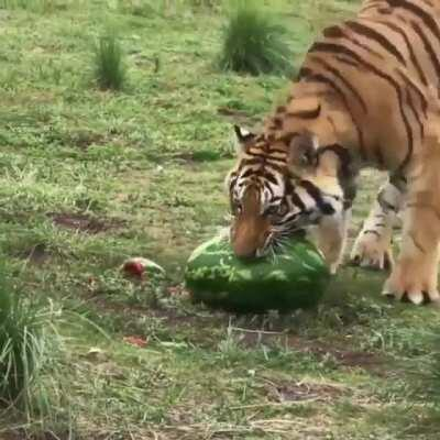 Tigers are carnivores, but will eat fruit in order to ease digestion