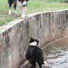 Border Collies, often cited as the most intelligent of all domestic dogs.
