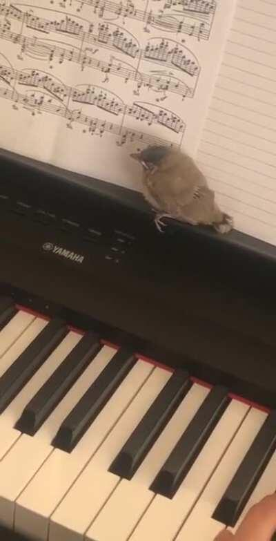 Playing Chopin's Nocturne op.9 no.2 with my bird