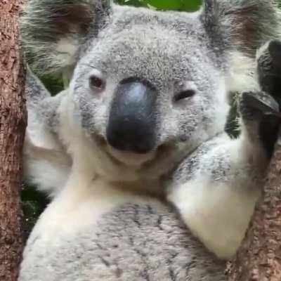 Koala's fur is actually pretty awesome. They have the most effective insulating back fur of any marsupial and is highly resilient to wind and rain, while the belly fur can reflect solar radiation. Also, the fur on the rump is densely packed to provide 'cu