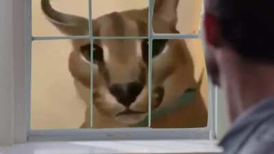 look everybody it is the funny caracal