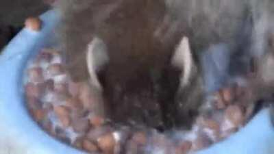 Baby raccoon still learning how to eat solid food.