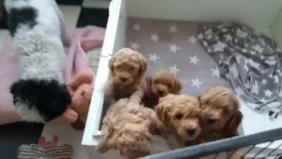 My 7 week old poodle puppies