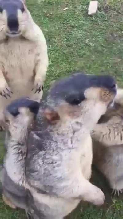 Group of Groundhogs arguing over who gets the snacks.