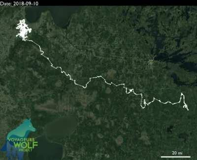 11 Months of a Lone Wolf's Travels in Northern Minnesota from GPS-collar that Took Locations Every 20 Minutes. Total Miles Traveled: 2,774 miles