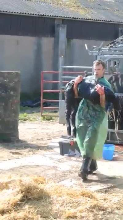 Vet performs a C-section on a cow singlehandedly.
