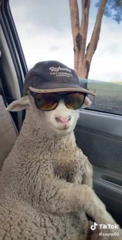 He's looking a bit sheepish