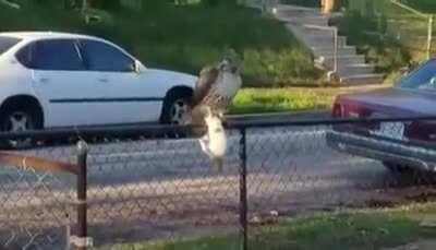 Hawk catches cat in the hood