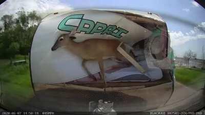 My deer need me!