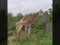 Giraffesdontexist