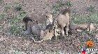 Lions fight while eating a water buffalo, then it casually walks off