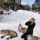 Wolves responding to human howl.