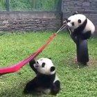 Here's a Panda trying to get into hammock
