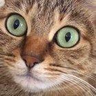 Cat having hiccups