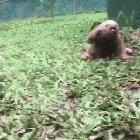 Baby Sloths are way Faster when they are young!