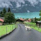 Dog walking at Lake Brienz