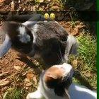 My friends baby goat thought the cat touched him.