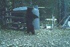 Bear learns elasticity, Hits his balls
