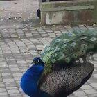 A beautiful peacock