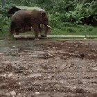 Elephant uses a stick to clean in-between its toes