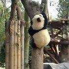 A panda a day keeps the sorrow away