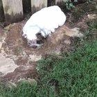 Muddy dog decides to run into the house.