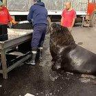 Sea Lion being fed by a fisher